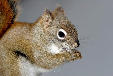 Squirrel control kent