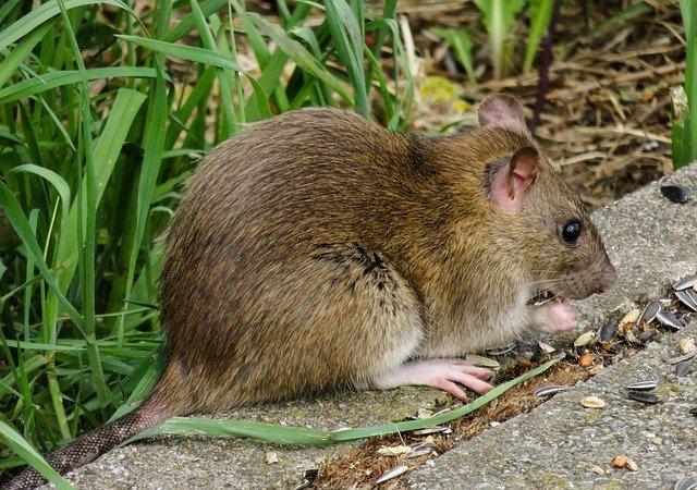 a rat outdoors in kent